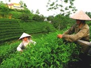 抓好茶叶安全生产促进茶业健康发展