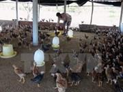 越南努力提升养鸡业竞争力