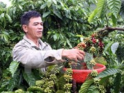 越南咖啡出口难以实现预期目标