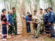 越南西原地区橡胶树种植面积占全国的26%