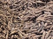2015年前9个月越南木薯出口额达10.3亿美元