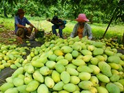 越南芒果对日出口量猛增
