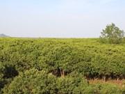 越南清化省大力推进红树林种植 抵抗自然灾害