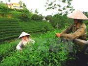 宣光省采用越南良好农业规范认证标准生产茶叶