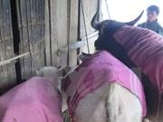 严寒恶劣天气导致北部各省家畜大量死亡