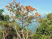 广南省占婆岛通过梧桐树打造旅游品牌形象