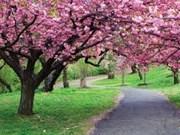 樱花——越日两国人民友好合作关系的象征