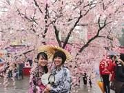 2016年下龙樱花节将于本月18日开幕