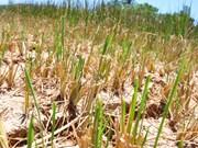 九龙江三角洲11个省公布旱灾和海水入侵情况