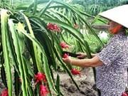 中国台湾恢复进口越南火龙果