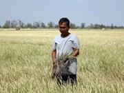 气候变化使越南南部6000公顷水稻遭受损失