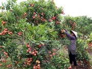 越南北江省荔枝对中国出口量逾3.22万吨