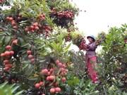 越南向澳大利亚出口10吨荔枝