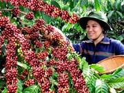 越南咖啡出口量将创下新纪录