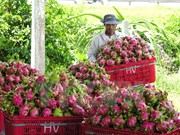 澳大利亚公布允许越南新鲜火龙果出口澳大利亚的评估报告草案