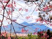 大叻市樱花的绚丽多彩(组图)