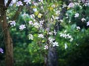 河内市各条街道盛开着西北地区特色花卉—羊蹄花(组图)