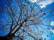 春天赴奠边赏羊蹄花(组图)