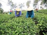 越南莱州省三塘茶叶拟进军日本市场