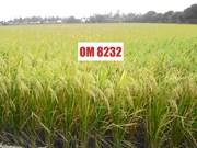 越南九龙江平原水稻研究院推出耐盐水稻新品种