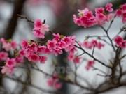 200棵日本樱花树将在河内市和平公园种植