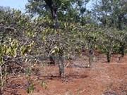 越南注重为东南部与西原地区寻找咖啡、胡椒、腰果抗旱措施