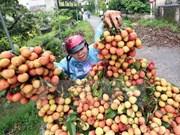 政府总理同意在老街省金城国际口岸延长荔枝产品通关时间