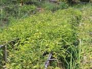 越南编制西原地区1657种药用植物名录