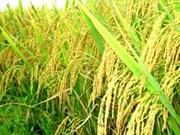 越南政府总理指导加大稻谷收购力度