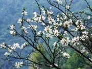 2017年奠边省羊蹄甲花节将于明年3月举行
