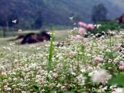 同文岩石高原上美丽如画的荞麦花
