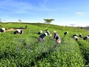 2015年越南茶叶出口目标或将难以实现