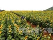越南宜安省千亩向日葵花海吸引数万名游客前来观赏