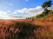 大叻市美丽如画之粉红色狗尾草丘