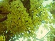 西贡金黄色阿勃勒热烈盛放