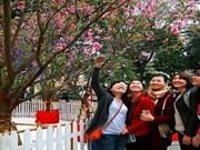 河内市民饶有兴致地欣赏日本樱花
