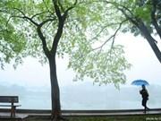 黄檀花在河内迷雾中绽放