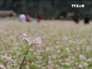河江省荞麦花节给游客留下深刻印象