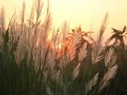 雪白芦苇——不一样的河内风光(组图)