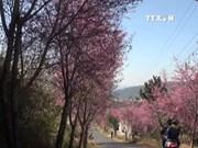 第一次大叻樱花节于2月中旬举行