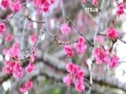 在奠边省巴空湖中观赏樱花