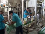 越南每年将向菲律宾出售150万吨大米