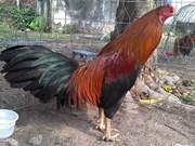 越南最著名的斗鸡品种—高领斗鸡