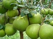 越南槟椥省绿皮柚子颇受多国市场的青睐