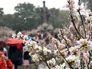 日本樱花展吸引数千名游客前来参观(组图)