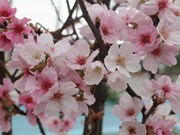 2017年日本樱花展览会在北宁省举行