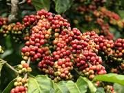 越南咖啡行业 努力克服气候变化的影响