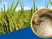 越南是全球第6大水稻播种国家