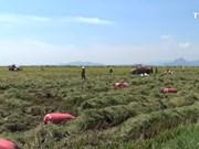 """""""大型稻田""""项目助力占族同胞提高生产效率"""