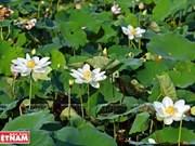 顺化古都遗迹区努力推广种植珍稀白莲品种